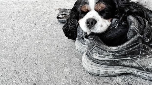 Free stock photo of dog, boots, sleeping dog