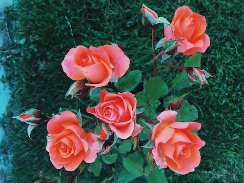 Základová fotografie zdarma na téma červené růže, dramatický, krásné květiny, rozbřesk