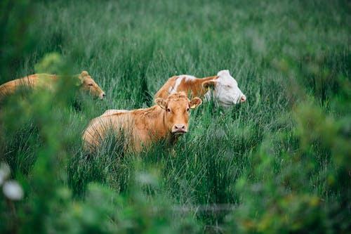 Darmowe zdjęcie z galerii z bydło, krowy, pastwisko, pole trawy