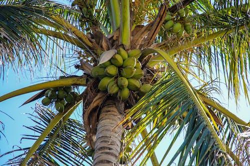 Foto stok gratis daun palem, daun-daun hijau, kelapa, pohon kelapa