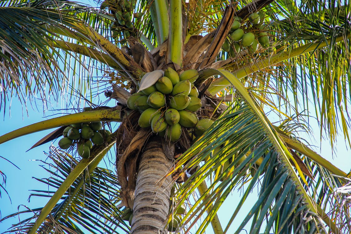 Free stock photo of coconut, coconut tree, green leaves