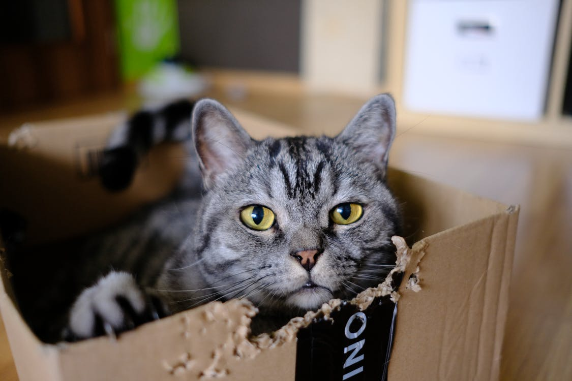 Gray Tabby Cat in Brown Box