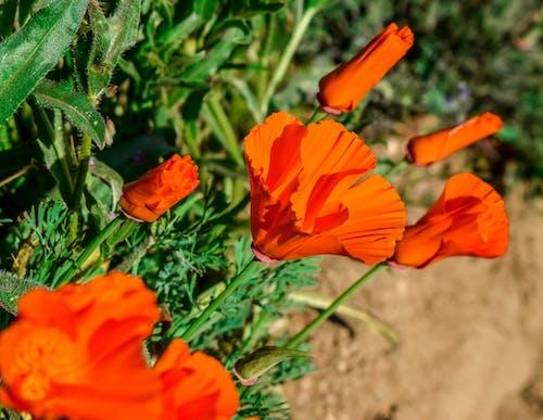 罌粟花, 野花 的 免费素材照片