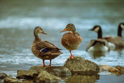 kuşlar, ördekler içeren Ücretsiz stok fotoğraf