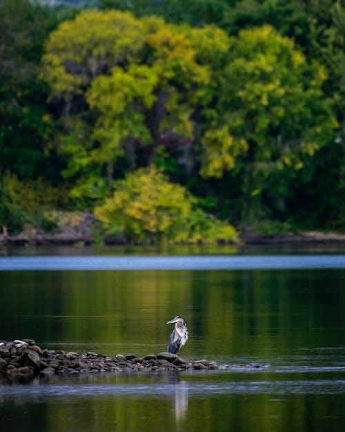balıkçıl, ırmak içeren Ücretsiz stok fotoğraf