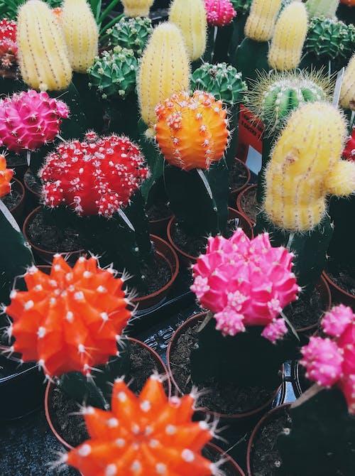 Foto d'estoc gratuïta de cactus, creixent, flor de cactus, plantes de cactus
