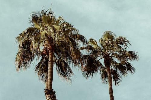 Imagine de stoc gratuită din arbori, cocotieri, conifere, fotografie cu unghi mic