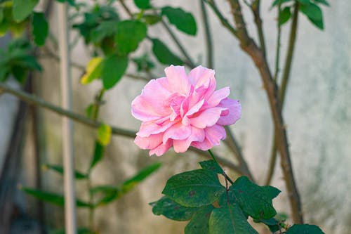 çiçek ağacı, gül goncası, Pembe gül, pembe renk içeren Ücretsiz stok fotoğraf