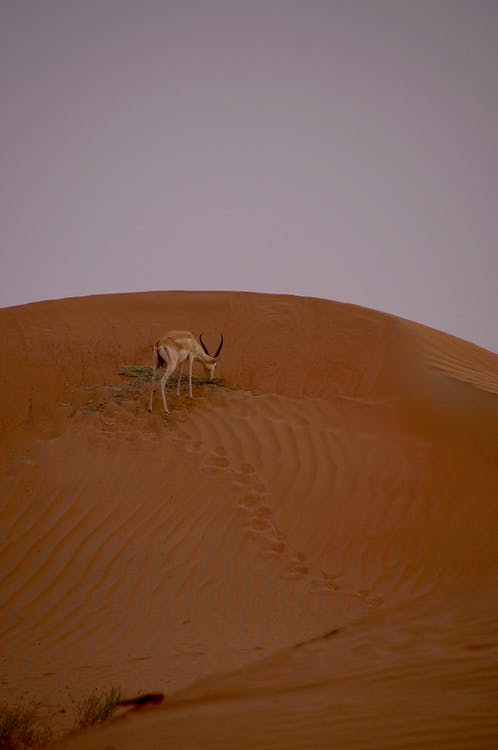 antilopa, cestování, denní světlo