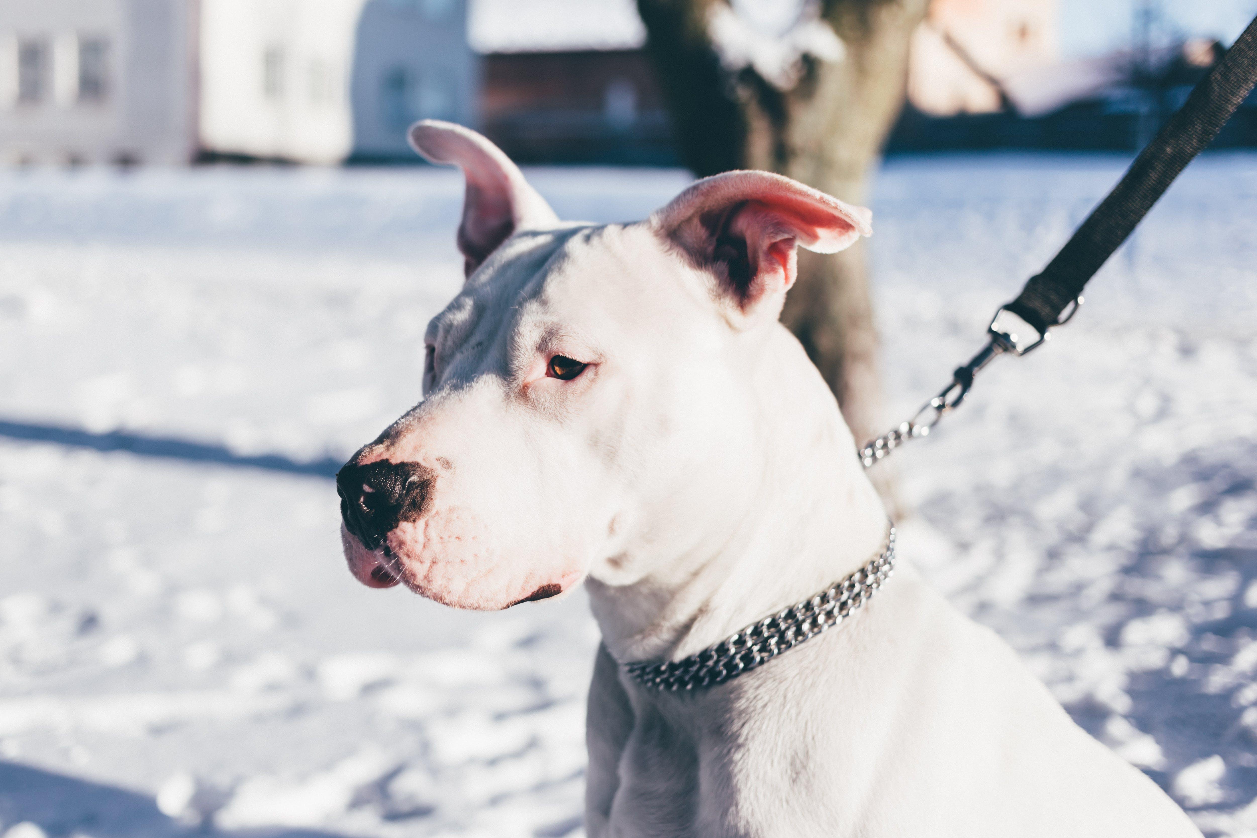 Adult White Pitbull Terrier Near Tree