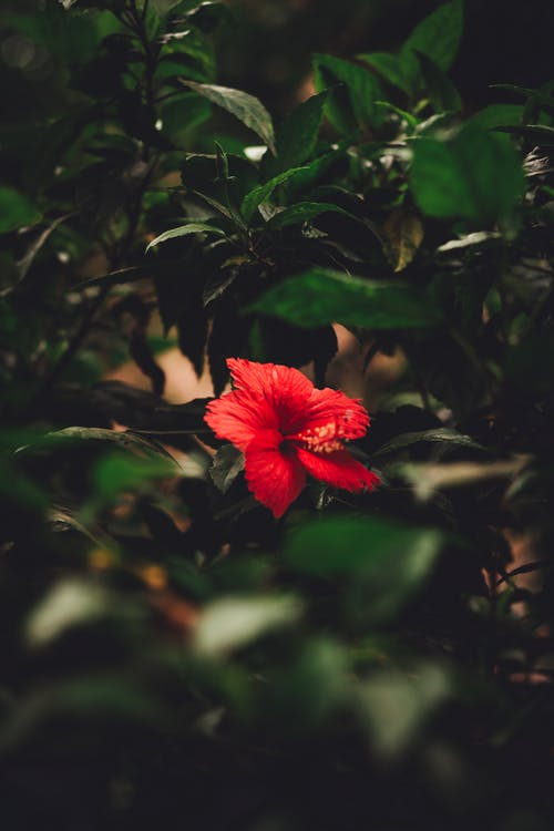 Photo Of Red Hibiscus Flower