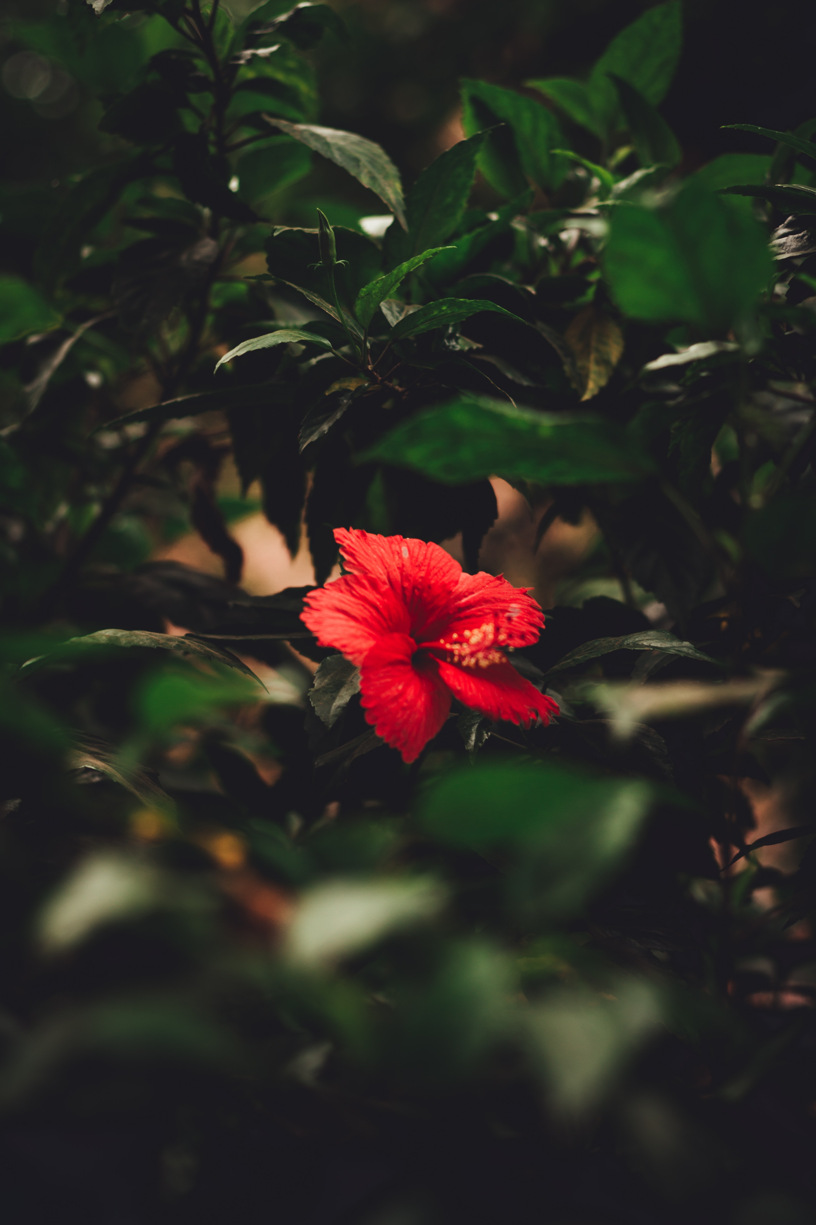 Photo Of Red Hibiscus Flower Free Stock Photo