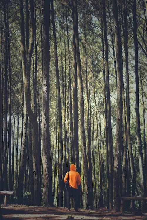 Gratis lagerfoto af dagslys, fyrretræer, hættetrøje, landskab