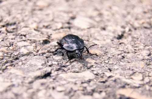 Free stock photo of arthropod, asphalt, beetle