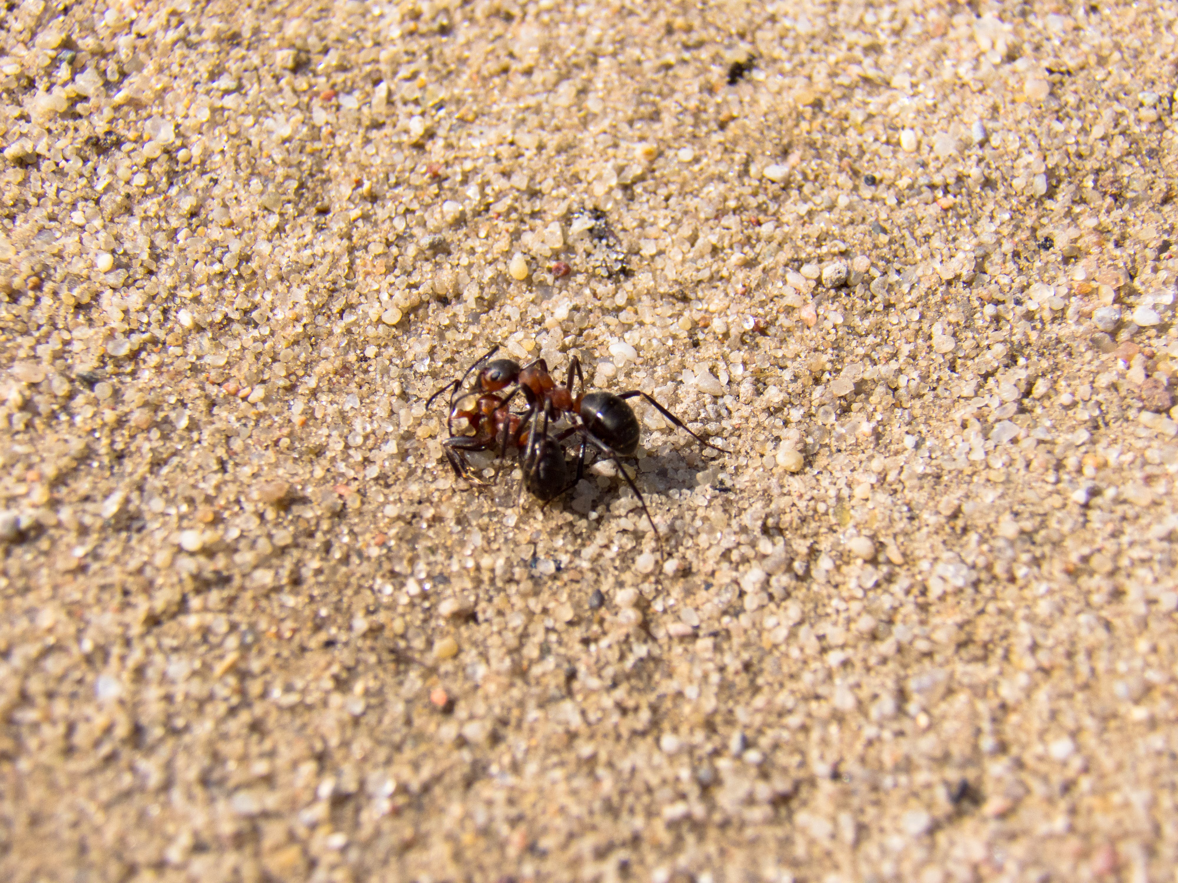 Free stock photo of nature, sand, insect, macro