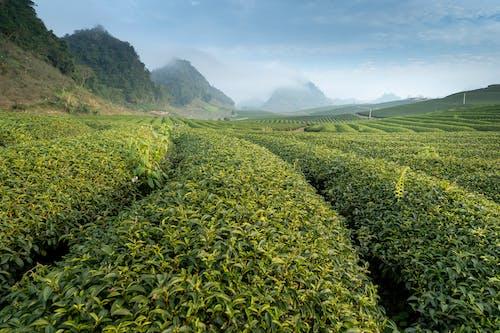 Fotos de stock gratuitas de agricultura, al aire libre, campo, campos de cultivo