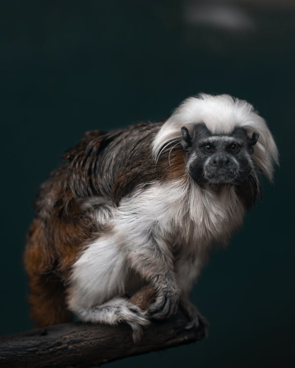 White and Brown Primate