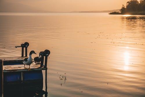 오리, 일몰, 호수의 무료 스톡 사진
