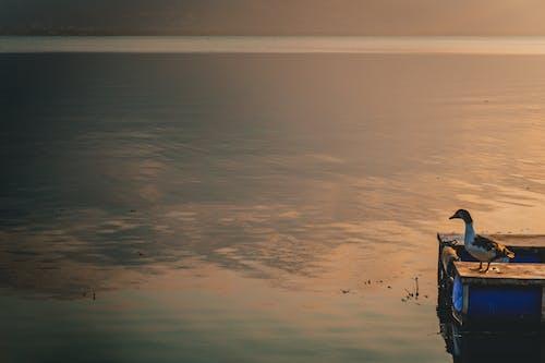 Безкоштовне стокове фото на тему «Захід сонця, качка, озеро»