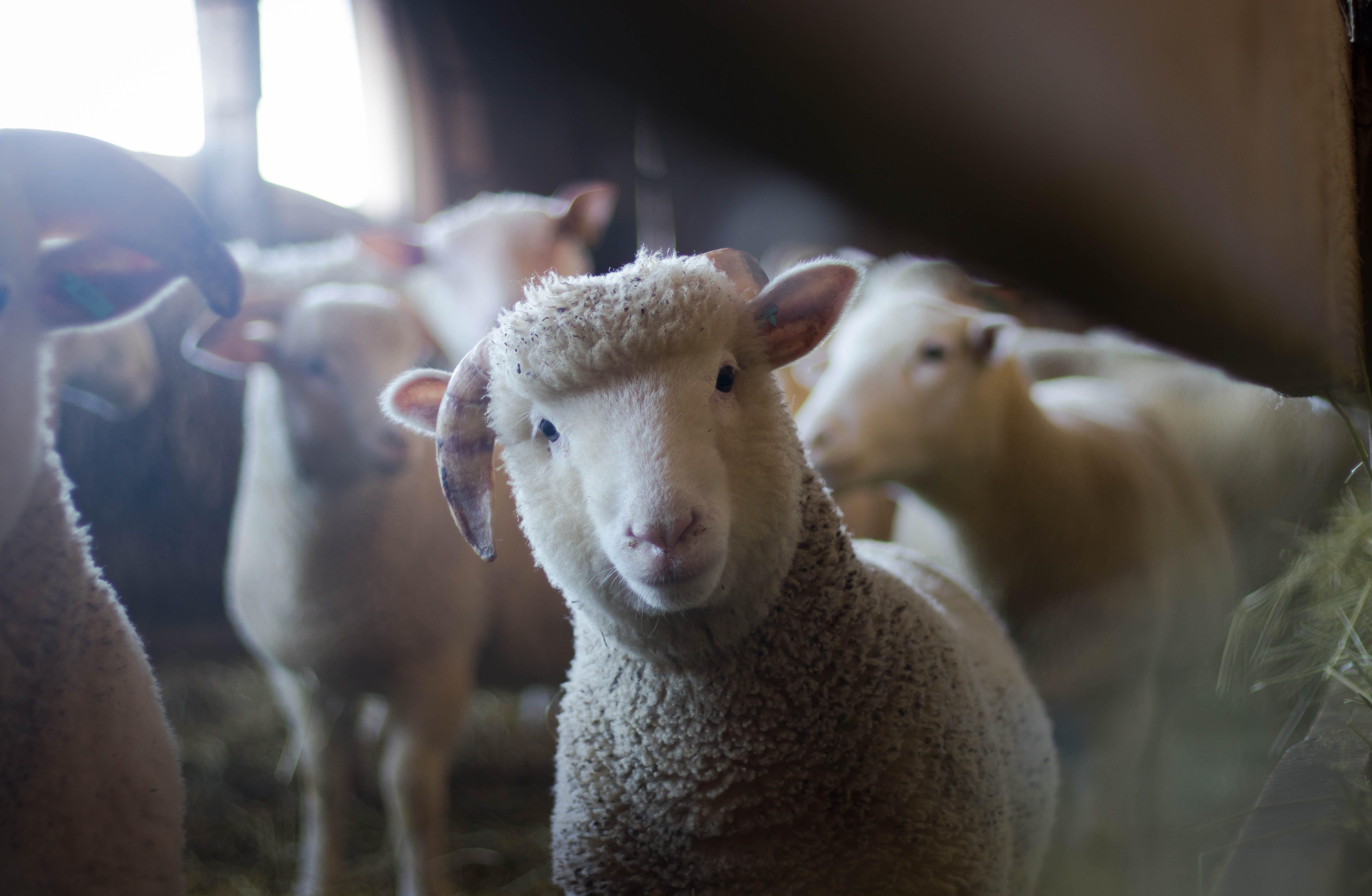 Immagine gratuita di addomesticato, agnello, animali, azienda agricola