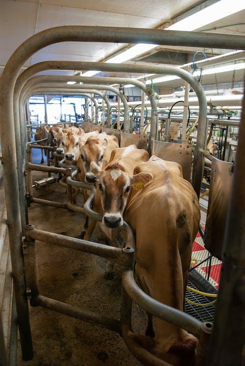 คลังภาพถ่ายฟรี ของ agbiopix, การผลิต, การรีดนม, การเกษตร