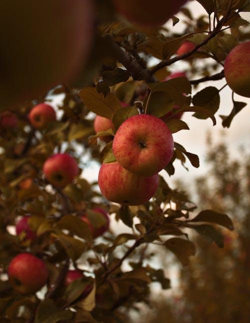 Бесплатное стоковое фото с apple, лето, фрукты, яблоки