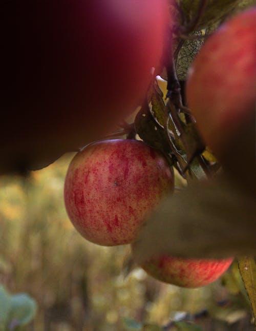Бесплатное стоковое фото с apple, лето, яблоки