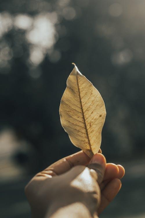 Gratis lagerfoto af blad, Botanisk, brun, close-up