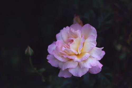 Gratis arkivbilde med blomst, blomstre, flora, hage