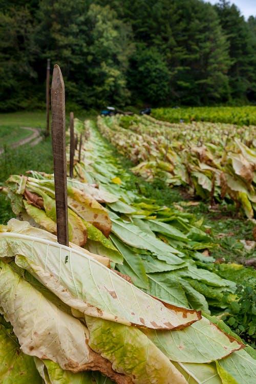 คลังภาพถ่ายฟรี ของ agbiopix, การเกษตร, บุหรี่, ภูเขา