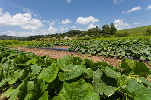 คลังภาพถ่ายฟรี ของ agbiopix, collards, การเกษตร, พืชผล