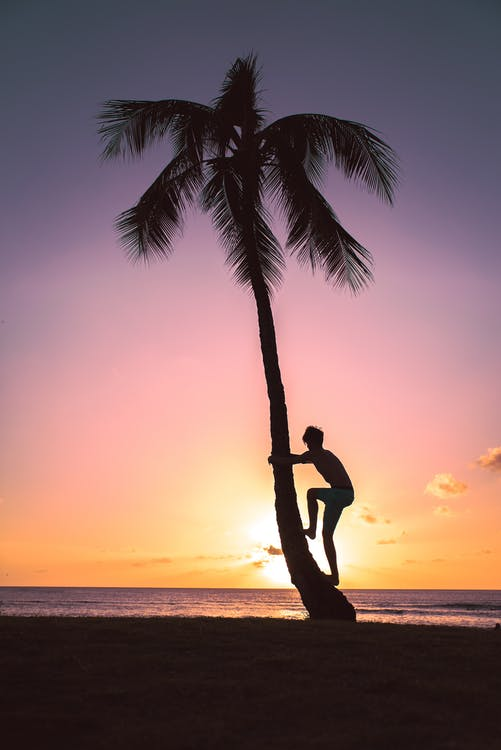 Silhouette of Person on Coconut Tree