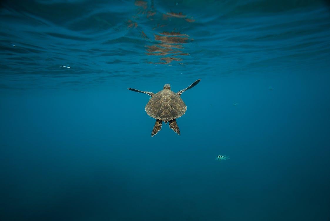 Gray Turtle
