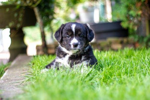 可爱的动物, 可爱的小狗, 威尔士科基犬, 小狗 的 免费素材照片