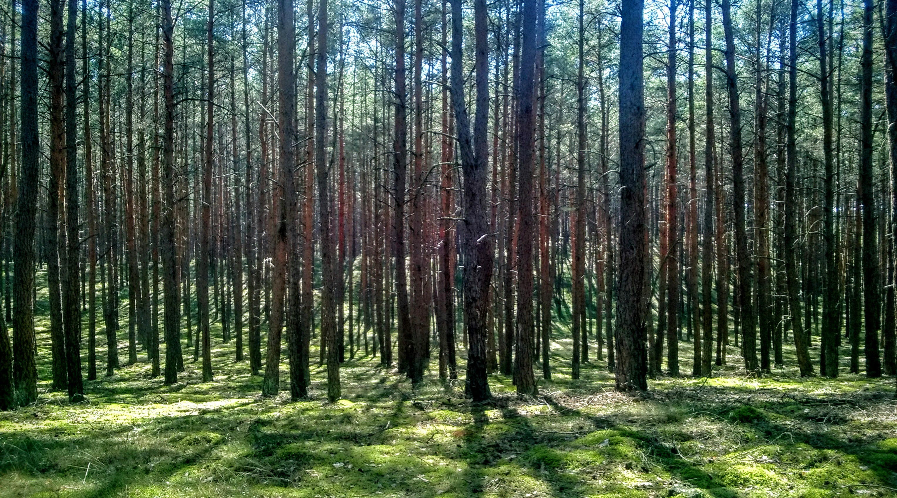 Free stock photo of forrest, straight, trees