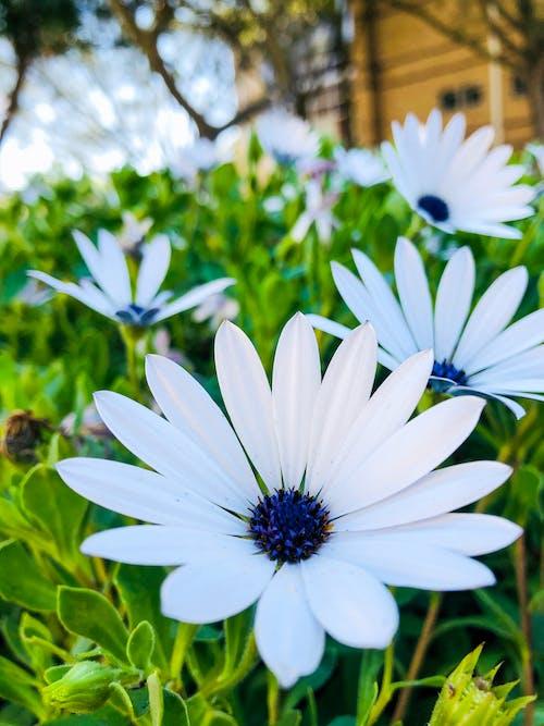 Darmowe zdjęcie z galerii z białe kwiaty, tło natury