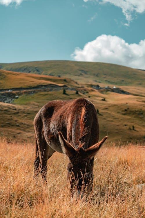 Бесплатное стоковое фото с выпас, домашний скот, еда, животное