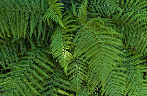 คลังภาพถ่ายฟรี ของ กลางแจ้ง, การเจริญเติบโต, ต้นเฟิร์น, ป่าฝน