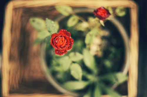Бесплатное стоковое фото с корзина цветов, красивый цветок, красный цветок