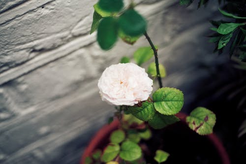 Imagine de stoc gratuită din floare albă, floare frumoasa