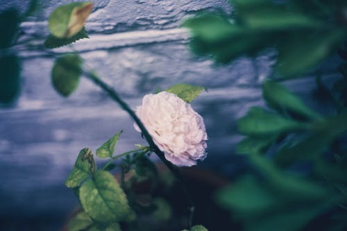 Бесплатное стоковое фото с белый цветок, красивые цветы