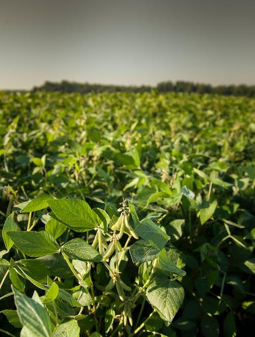agbiopix, 大豆, 田, 綠色 的 免費圖庫相片