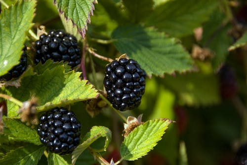 Gratis stockfoto met agbiopix, blackberries, blackberry, fabriceren