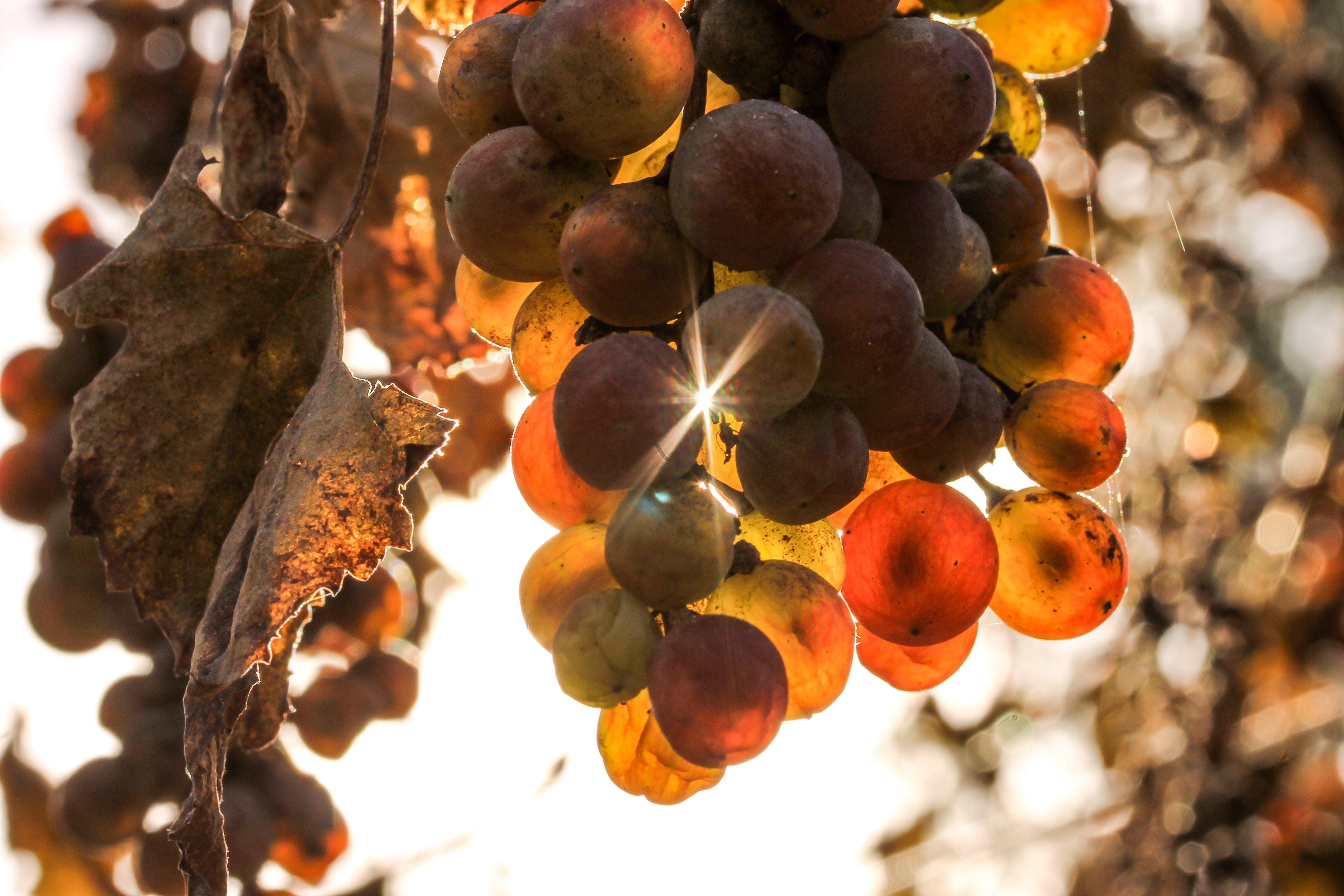 Free stock photo of autumn, autumn colors, grape, nature