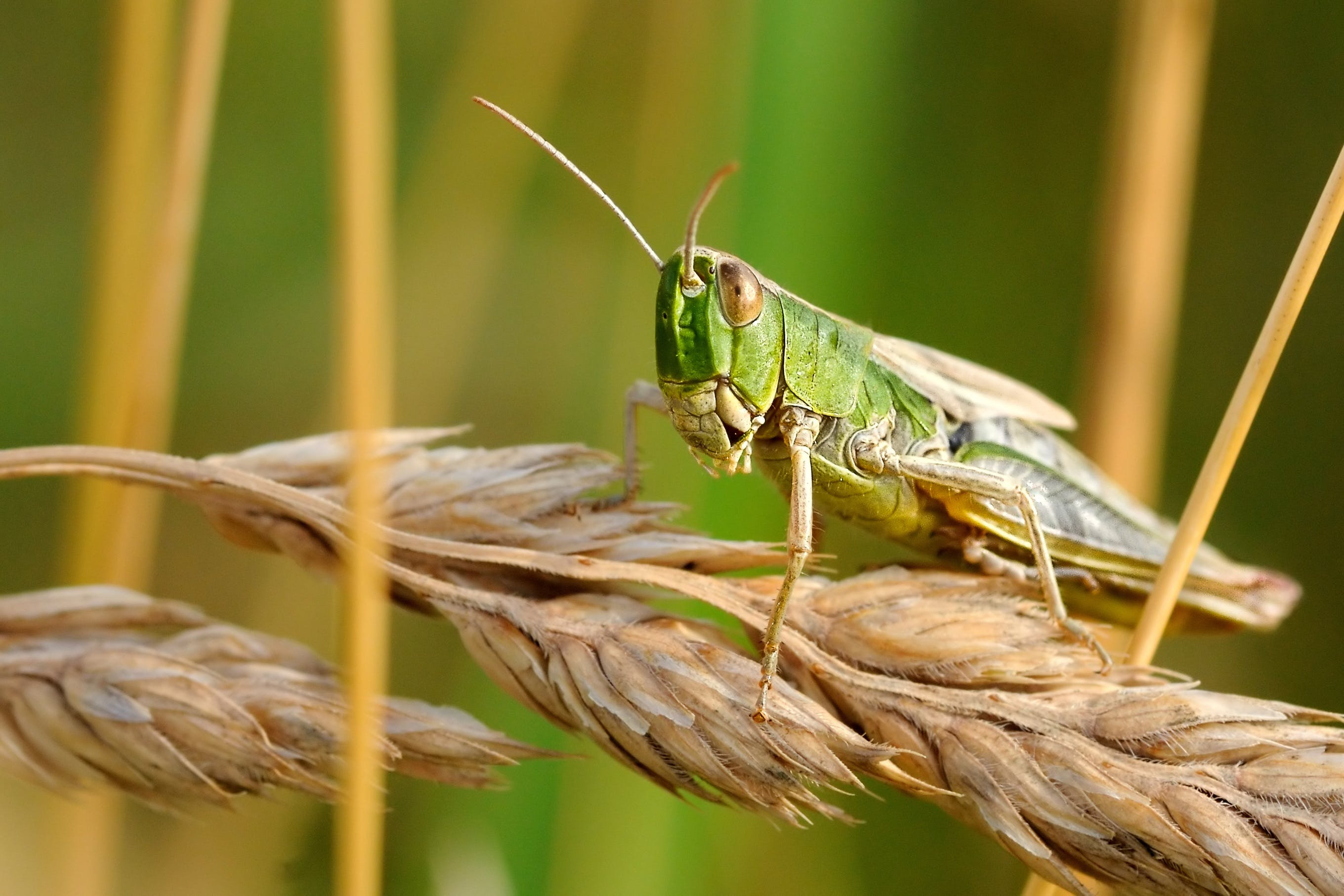 Green Grasshopper on Wheat
