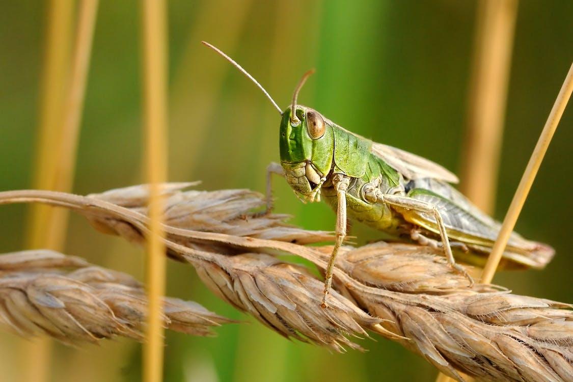 Green Grasshopper on Wheat