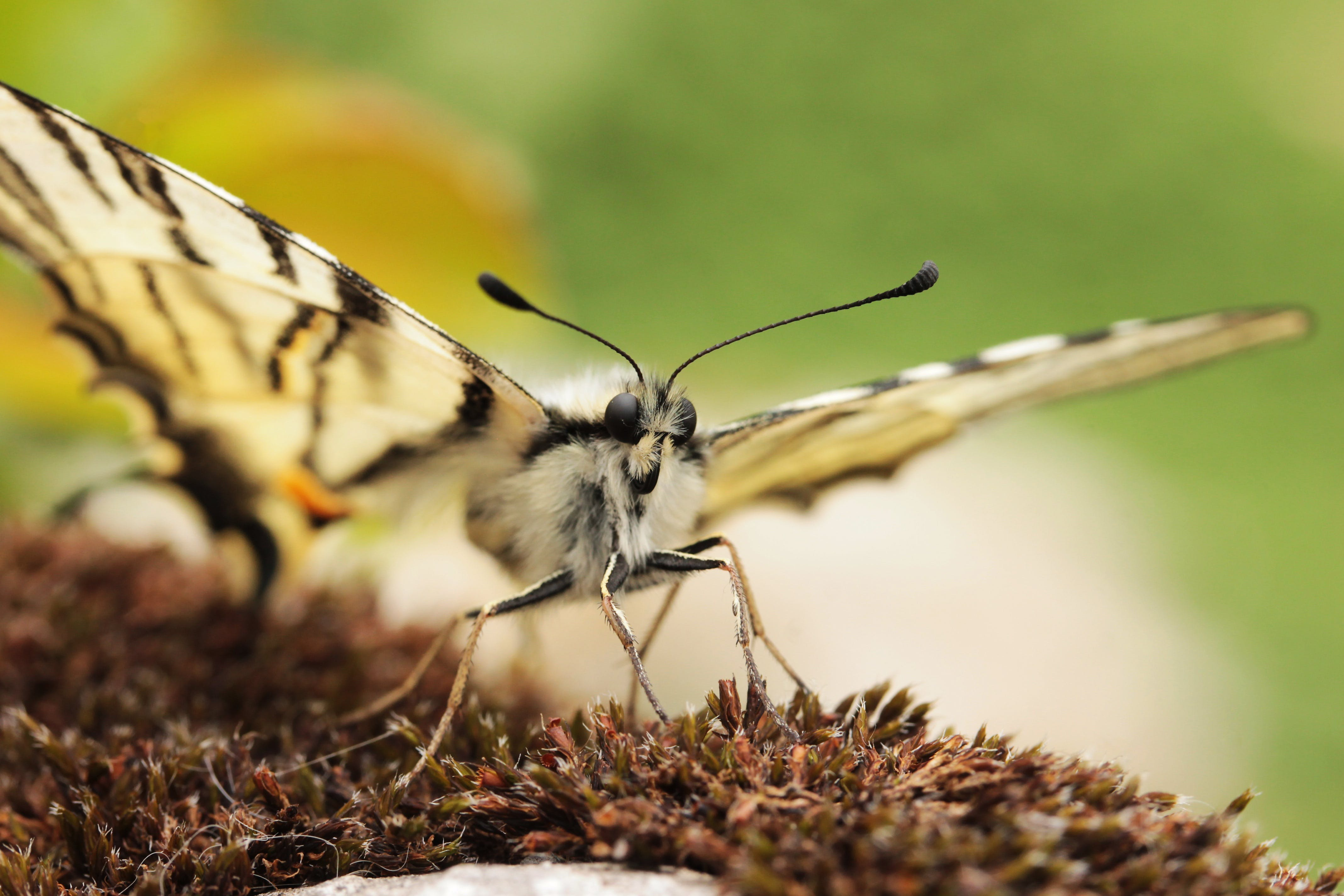 Macro Photo of Eastern Tiger Swallowtail Butterfly on Brown Plant