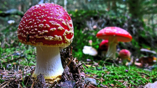 Free stock photo of nature, forest, fly agaric, mushroom