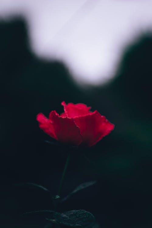 Ilmainen kuvapankkikuva tunnisteilla kaunis kukka, kukinta, kukka, punainen ruusu