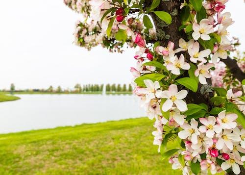 Imagine de stoc gratuită din arbore, contrast, floare, iaz
